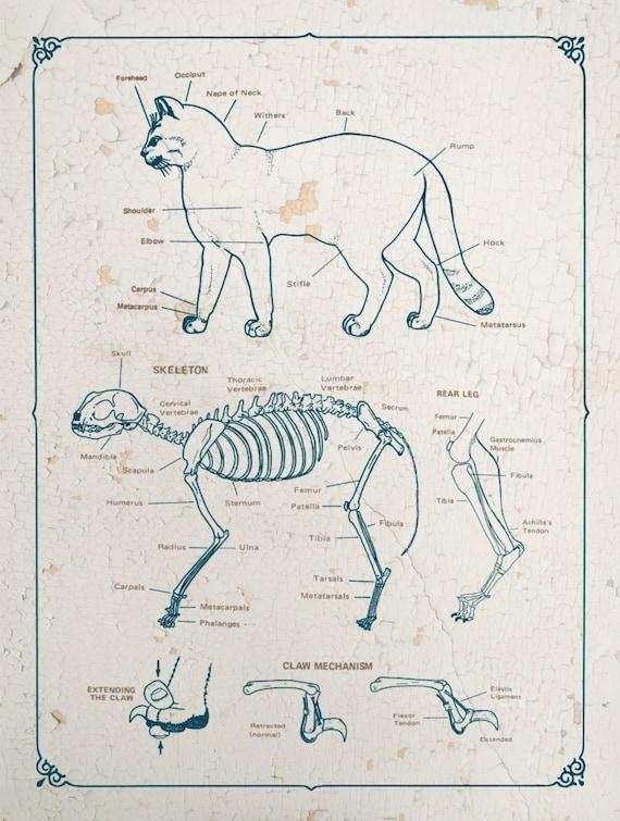 Cat Anatomy Chart Feline Skeletal Reference Claw Mechanism Etsy