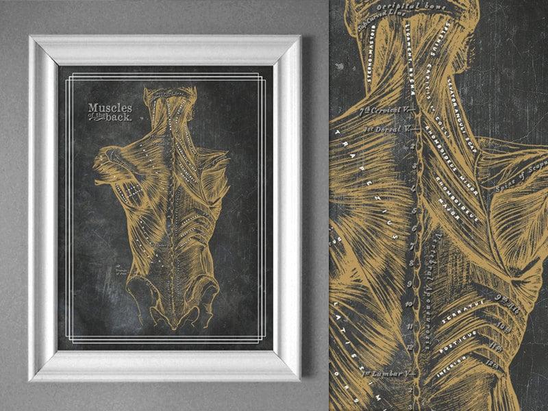 Anpassbare Grautöne Anatomie Bronze Rücken Muskeln Diagramm | Etsy