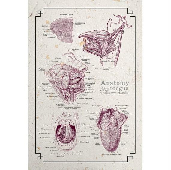 customizable grays anatomy tongue salivary glands chalk board etsy rh etsy com Human Nose Anatomy Diagram Human Anatomy Tongue Glands