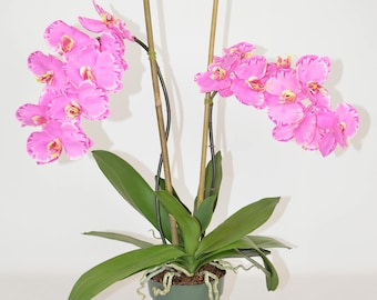 Double Phalaenopsis Orchids in Drop in Pot