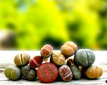 Live Lithops Plant  / 2.5 Years Old Seedling Lithops Succulent /Living Stone Plant / Lithops Rock Succulent Plants / Sold Individually