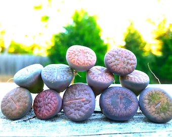 Exotic Lithops Plant  / Rare Stone Flower Plant / Medium Lithops Succulent / Lithops Plant with Various Color & Patterns / Sold Individually