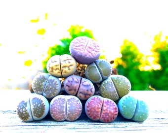 Live Lithops Succulent Plant  / Medium Size Lithops Living Stone Plant / Split Rock Succulent Plants / Flowering Stone Plant / Holiday GIft