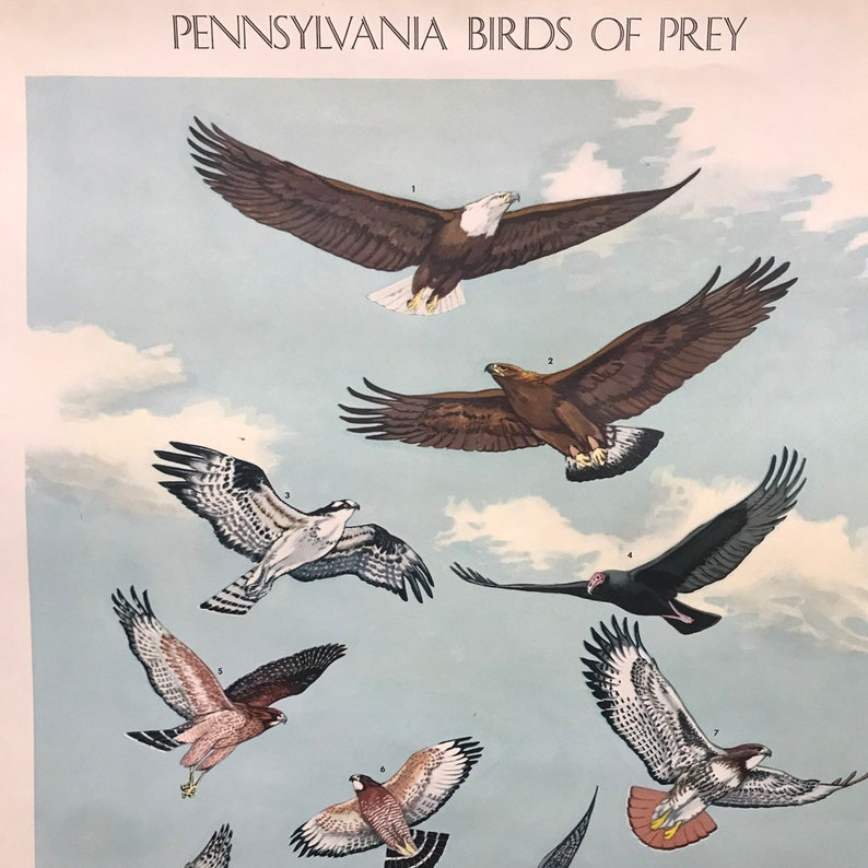School Poster Birds of Prey Pennsylvania 1946 Penn Game Commission Eagle  Vulture Hawk Jacob Bates Abbott Illustration