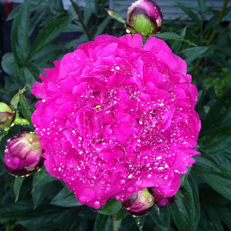 5 x 5 Sparkling Peony Flower Photograph image 0