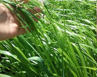 Sweet Grass Hierochloe odorata 5 + Bare root plant Organic