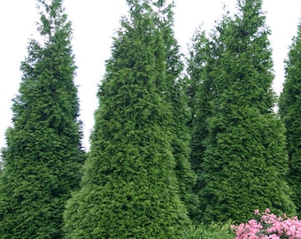 Green Giant Arborvitae - 1 Gallon