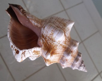 "Striped Fox Horse Conch Sea Shell Nautical Beach Decor Size 6"" Plus"