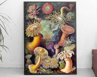 Sea Anemones Poster / Print ( Actiniae Illustration) Various Sizes by Ernst Haecke