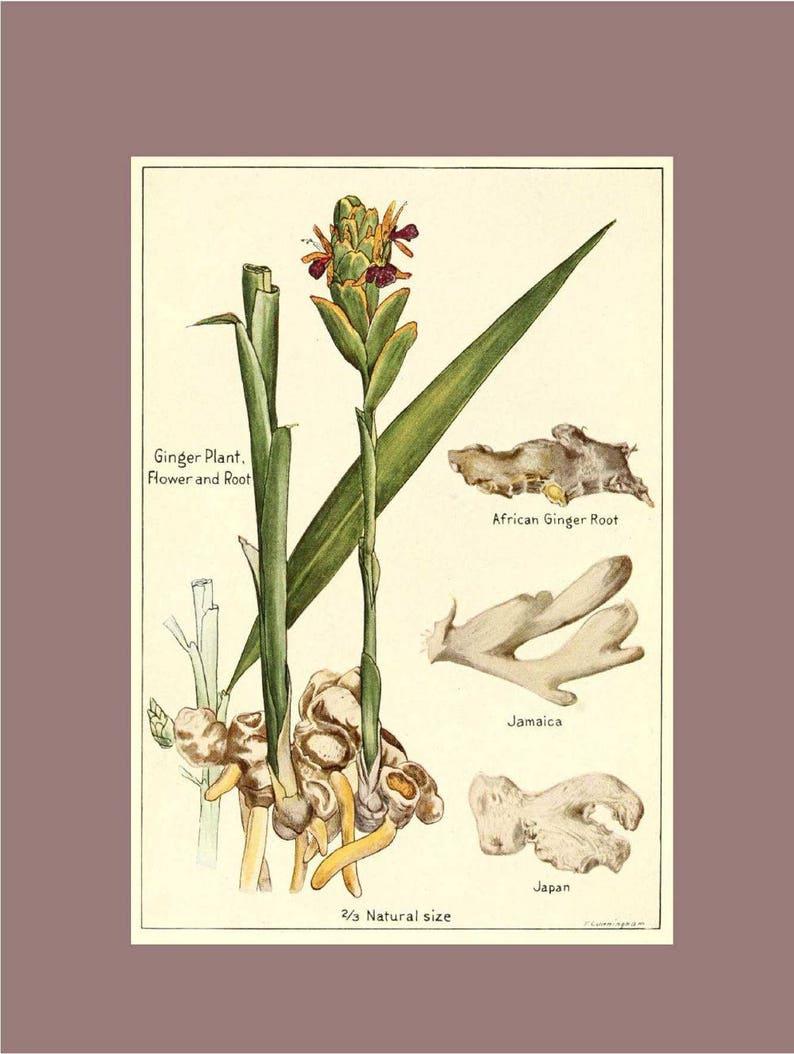 Ginger Botanical Print Spice Kitchen Decor Vintage Wall Art Picture Poster Gift
