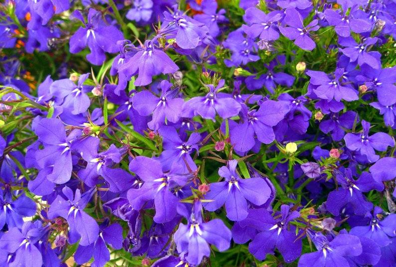 Blue Lobelia Seeds Etsy