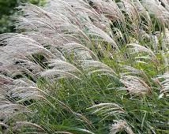 Ornamental grass etsy five 12 ft tall giant miscanthus x giganteus 5 live perennial ornamental grass plants by workwithnaturefo