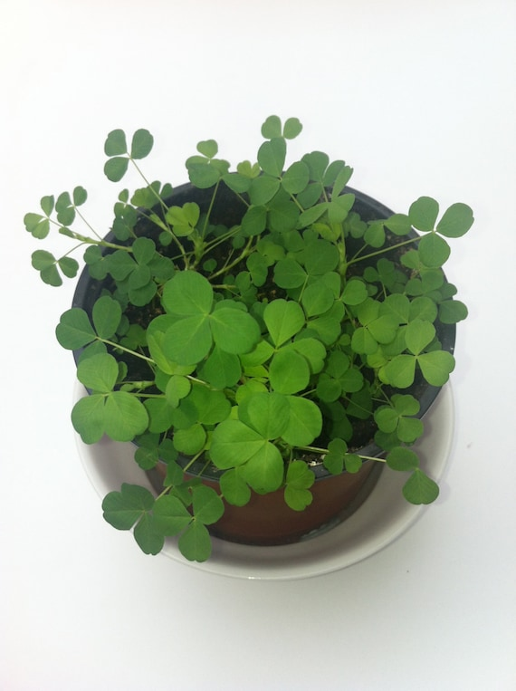 White Clover seeds  with free complimentary irish blessing bookmark .