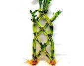 12 Inches Trellis Shaped Lucky Bamboo Arrangement