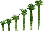 Set of 10 Curly Spiral Lucky Bamboo Stalks 36 Inches, 30 Inches, 24 Inches, 18 Inches, 12 Inches, or 8 Inches Long - Choose Your Preference
