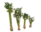 Set of 5 Curly Spiral Lucky Bamboo at 30 Inches, 24 Inches, 18 Inches, 12 Inches, 8 Inches, or 6 Inches Long - Choose Your Preference