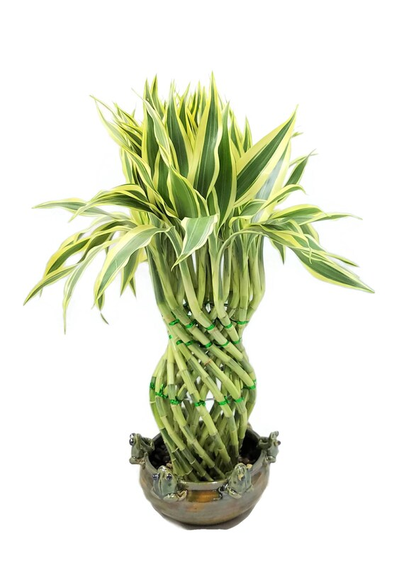 Pineapple Braided Live Bamboo Plant In Frog Chinese Vase Etsy