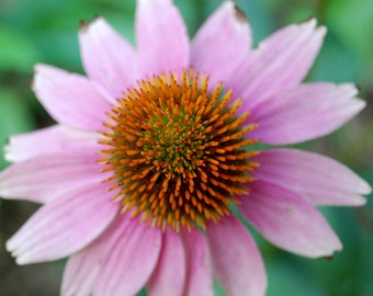 Closeup of a Pink and Orange Coneflower