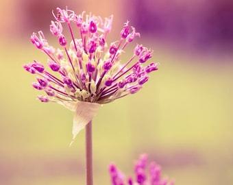 Blooming allium purple abstract shot downloadable digital art print