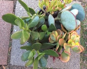 5 varieties of Jade Plant Cuttings Colorful Crassula Succulents Great drought tolerant plant-Indoor or Outdoor