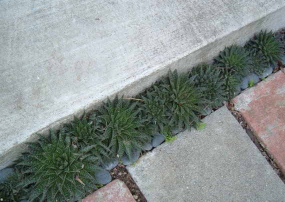 Succulents Drought Tolerant Plants Haworthia Partial Sun Or | Etsy