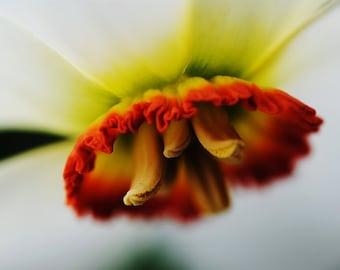 "Nature Photography - Flower Fine Art Print - Macro Photo - Red - Yellow - ""Circle of Life"""