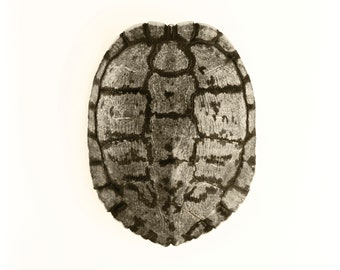 """Red Eared Slider 2, 16""""x21"""" Photograph on archival paper with hand deckled edge. Signed in pencil"""