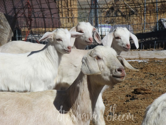 goat picture, baby boats, goat family, goat photography, goat image, goat  download, cute goat picture, goat wall art, funny goat, farm goat