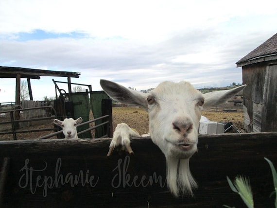 funny goat image, digital goat picture, silly goat picture, funny goats,  goat smile, funny farm animals, happy goats, farm animals,