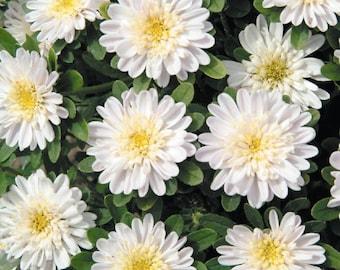 Aster Elsa Flower Seeds from Ukraine