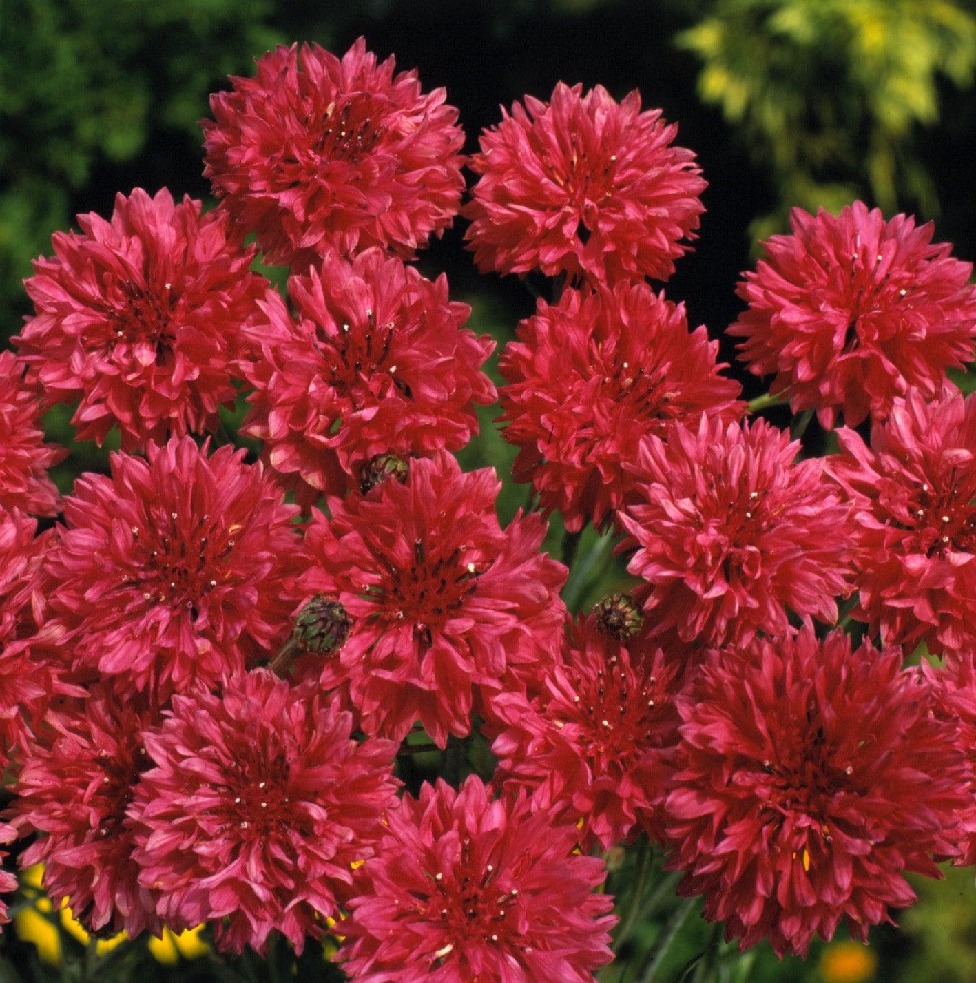 Flower Seeds Centaurea Cyanus Red Ball Vasylek Annuals From Etsy