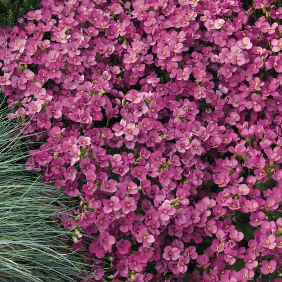 Primula-rosea grandiflora 50 graines