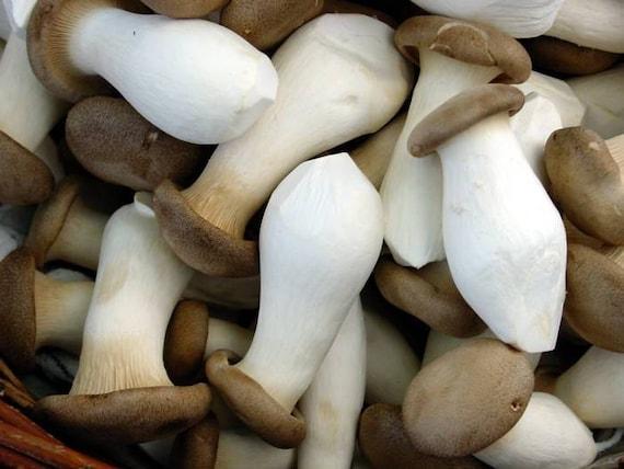 Golden Oyster Mushroom Spores Spawn Mycelium On Dry Seeds