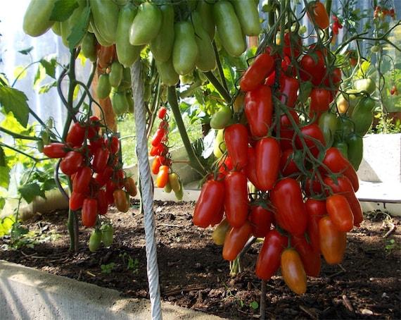 50 seeds Tomato Seeds Marmande Ukraine Heirloom Vegetable Seeds