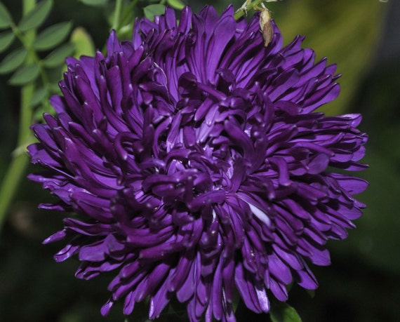 chinensis annuals from Ukraine Aster Flower Seeds King Size