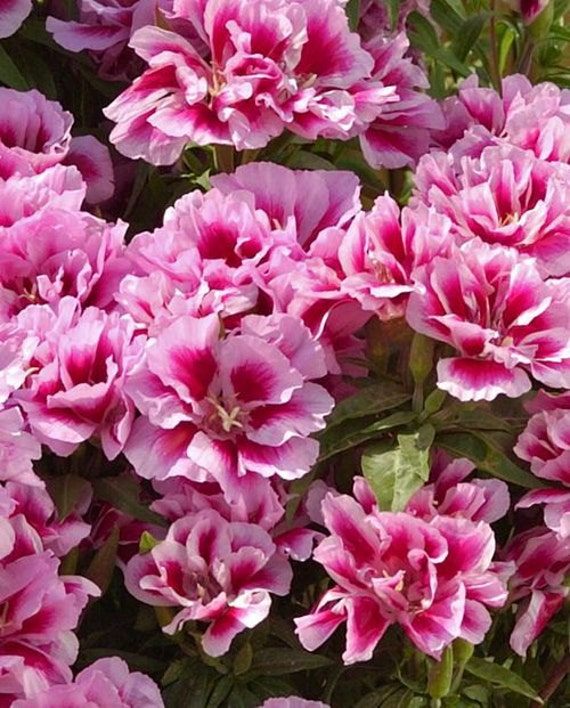 grandiflora azaelaflora 100 graines GODETIA Orange