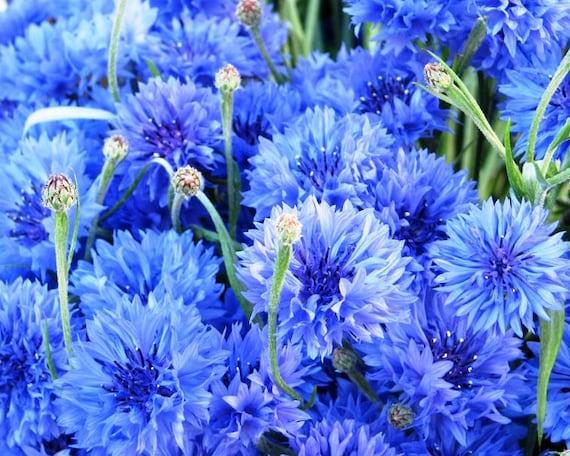 CORNFLOWER CENTAUREA CYANUS BLUE BOY 1200 SEEDS ANNUAL FLOWER