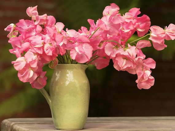 Lathyrus Odoratus sweet pea Louis Flower Seeds from Ukraine