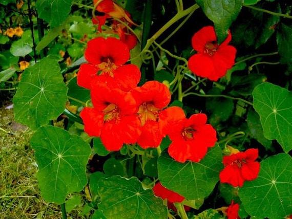Nasturtium seeds Coral Shine Tropaeolum majus Flowers Seeds from Ukraine