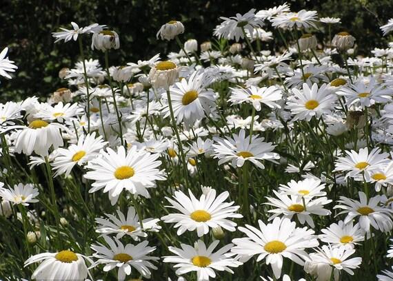 Chamomile garden Large-flowered Flower Seeds from Ukraine