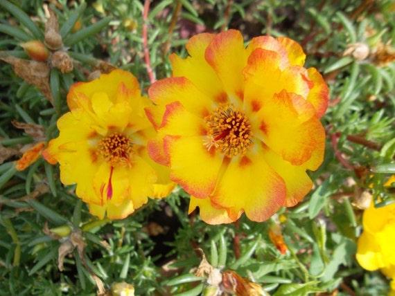 Phlox Drummondii Fleur Graines de l/'Ukraine