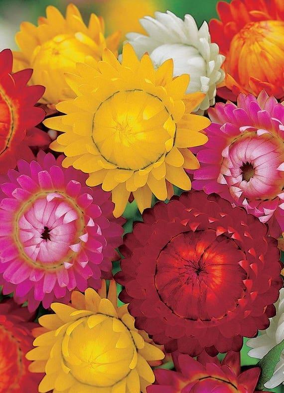 Helichrysum bracteatum flower seeds From Ukraine