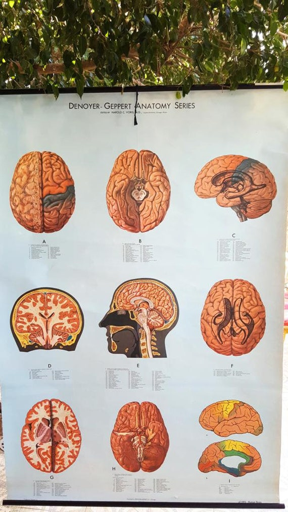 School poster Anatomy Brain years 70/rare vintage roll down