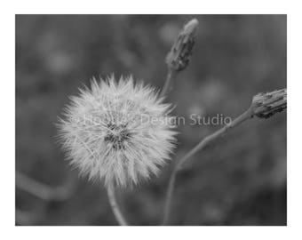 Dandelion Black and White Photography Print, Fine Art Photography, Flower Photography, Prints