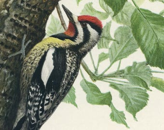 Louis A Fuertes Giclee Bird Print