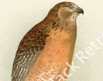 Red Shouldered Hawk Giclee Print - Fine Art Reproduction Bird Print - Bird Illustration - Bird Lover Art - Bird Decor - Ornithology Print