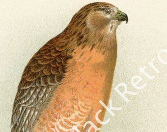 1897 Antique Red Shouldered Hawk Print - Vintage Illustration - 1890's Original Book Plate - Rustic Wall Decor - Wildlife Natural History