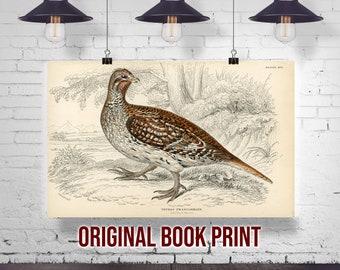 Original Antique Color Photo Bookplate Ruffed Grouse June 1897
