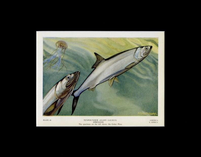 Tenpounder Fish Original c Fisherman Gift Natural History Print Vintage Fish Decor Brunner Fish Illustration 1949 Fish Print