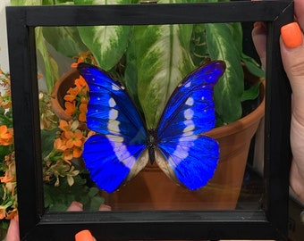 Single Morpho Helena Butterfly in Frame, Preserved Butterfly, Ethically Sourced Taxidermy